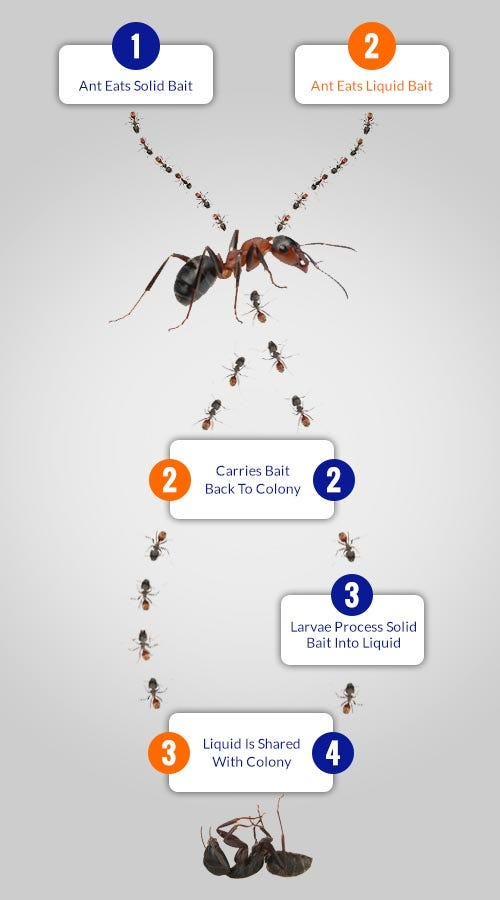 Diagram of Ants taking poisoned bait back to their nest, where they and other ants will die